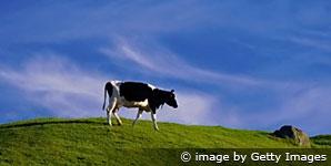 O monge e a vaca